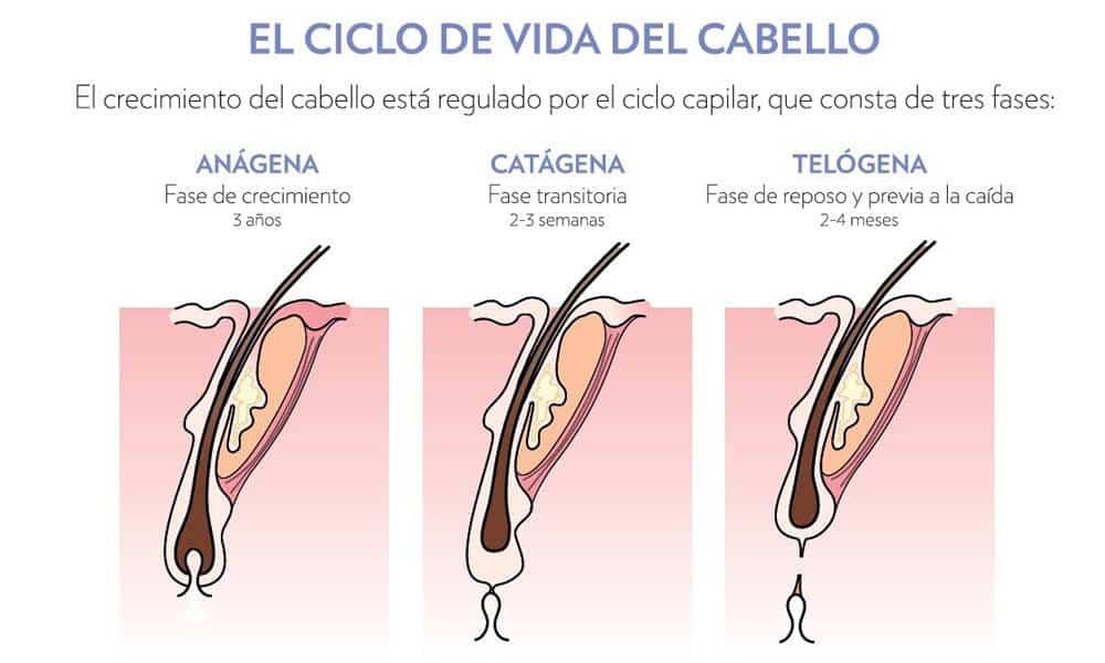ciclo de la vida del cabello